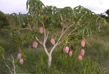 Matas de mangos del Patio de la Casa de José Otaño